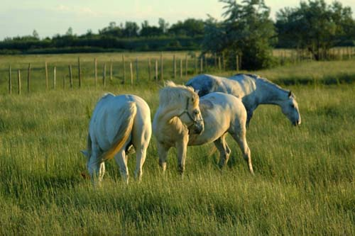 Camargue Horse photo