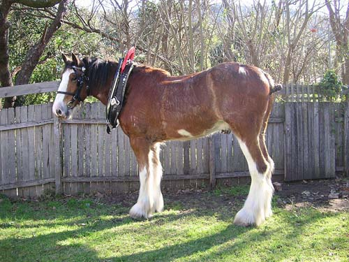Clydesdale Horse photo