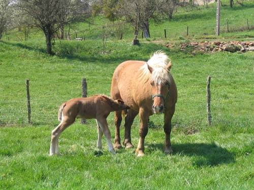 Comtois Horse photo