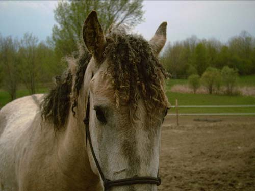 Curly Horse photo