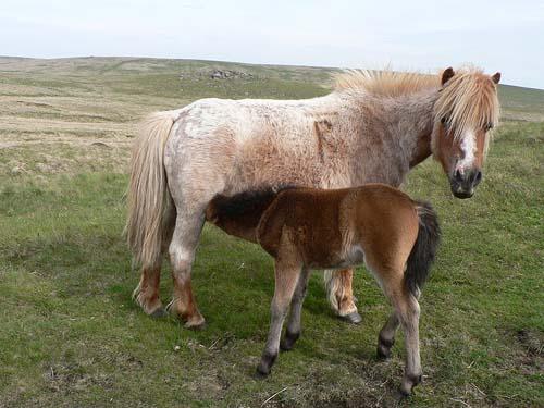 Dartmoor Pony photo