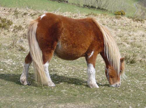 Dartmoor Pony photo