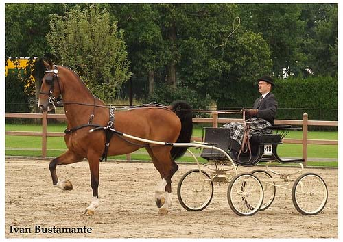Dutch harness Horse photo
