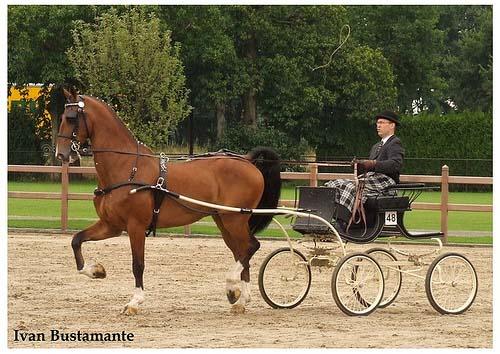 Dutch harness Horse photo