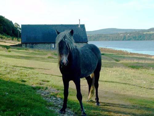 Eriskay Pony photo
