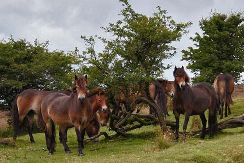 Exmoor Pony photo