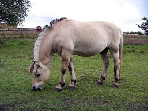 Fjord Horse photo