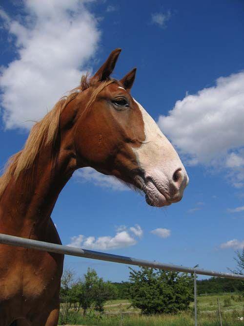 Frederiksborg Horse photo