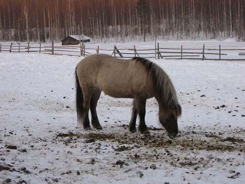 Icelandic Horse photo