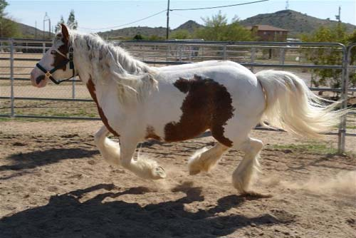 Gypsy Vanner Horse photo