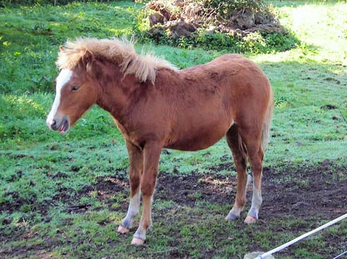 Kerry Bog Pony photo