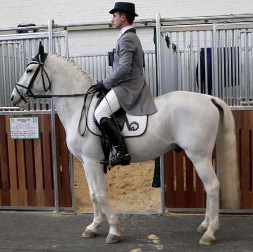 Lipizzan photo