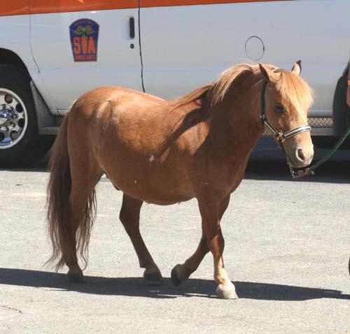 Miniature Horse photo