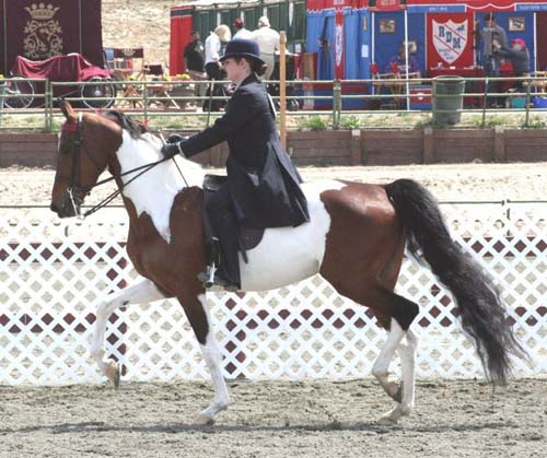 National Show Horse photo