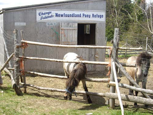 Newfoundland Pony photo