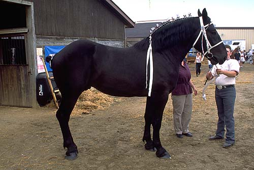 Percheron photo