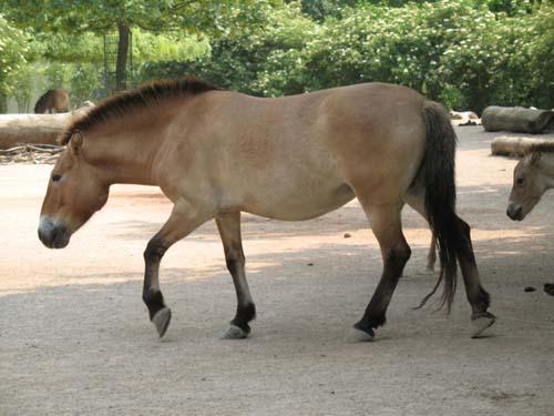Przewalski's Horse photo