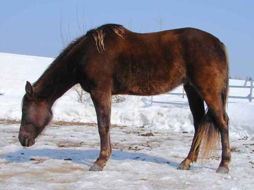 Rocky Mountain Horse photo