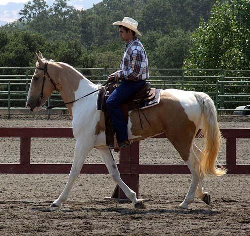 Spotted Saddle Horse photo