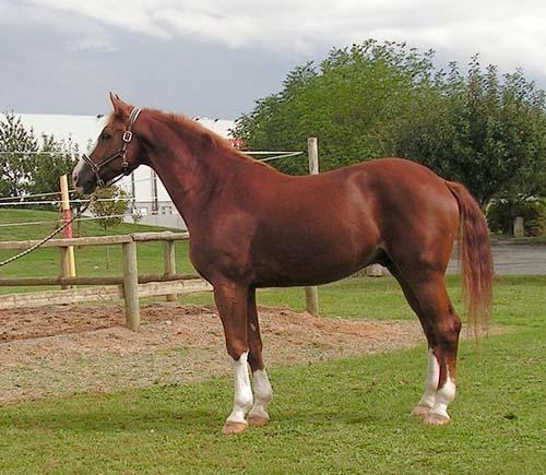 Westphalian Horse photo