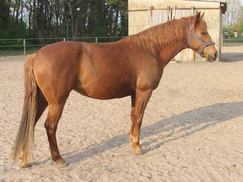Barb Horse photo