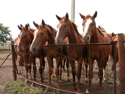Budyonny Horse photo