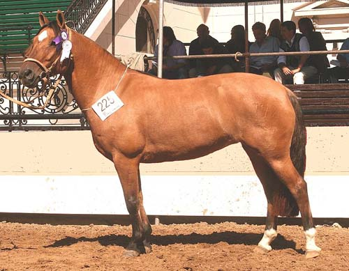 Criollo Horse photo