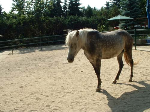 Gotland Pony photo