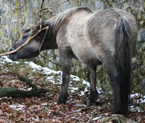 Heck Horse photo