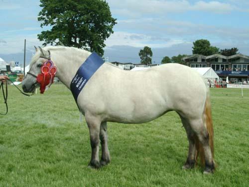 Highland Pony photo