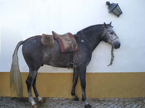 Lusitano photo