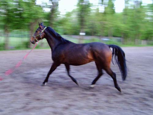 Malapolski Horse photo