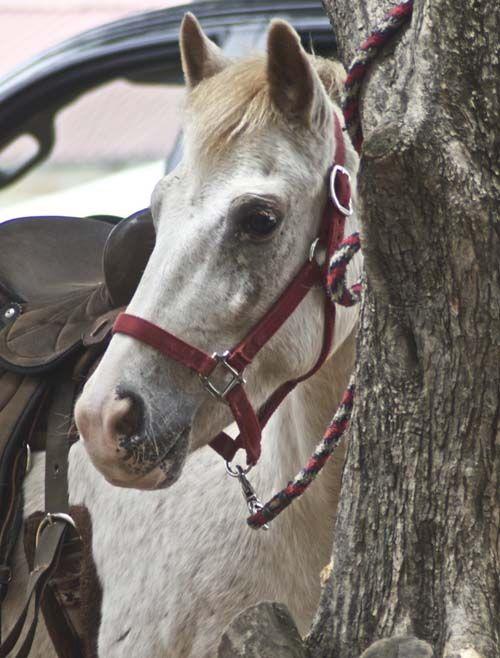 Pony of the Americas photo