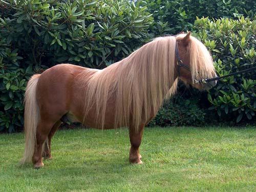 Shetland Pony photo