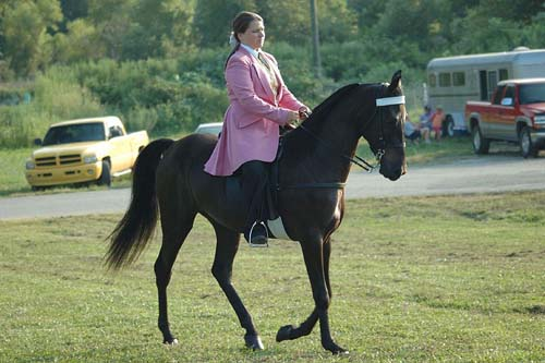 Tennessee Walking Horse photo