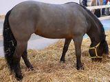 Bardigiano Pony