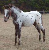 Spanish Jennet Horse