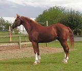 Westphalian Horse