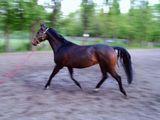 Malapolski Horse