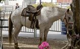 Pony of the Americas