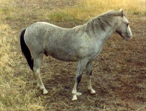 Welsh Pony photo