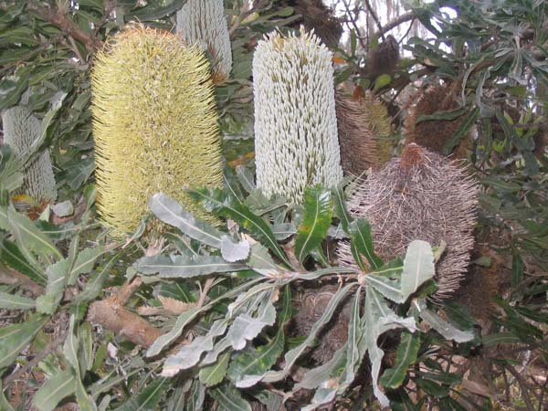 Banksia serrata photo