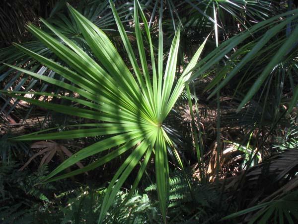 Livistona australis photo