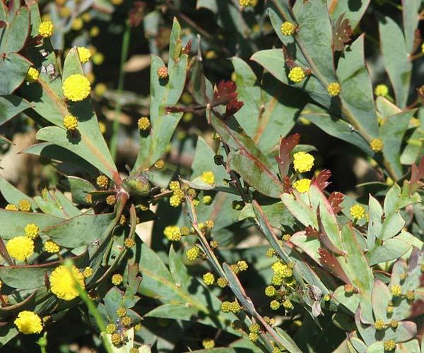 Acacia glaucoptera photo