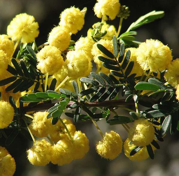 Acacia nigricans photo