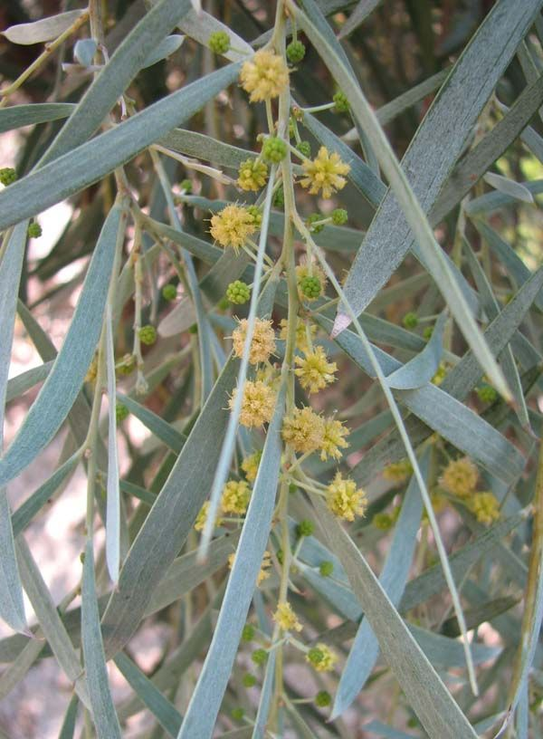 Acacia pendula photo