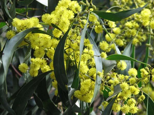 Acacia pycnantha photo