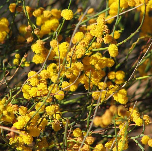 Australian native plants 1 image acacia restiacea is a small shrub with golden yellow ball shaped flowers from late winter to mightylinksfo