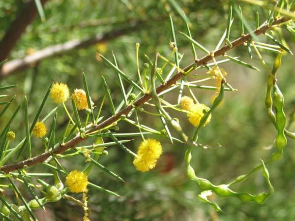 Acacia tetragonophylla photo