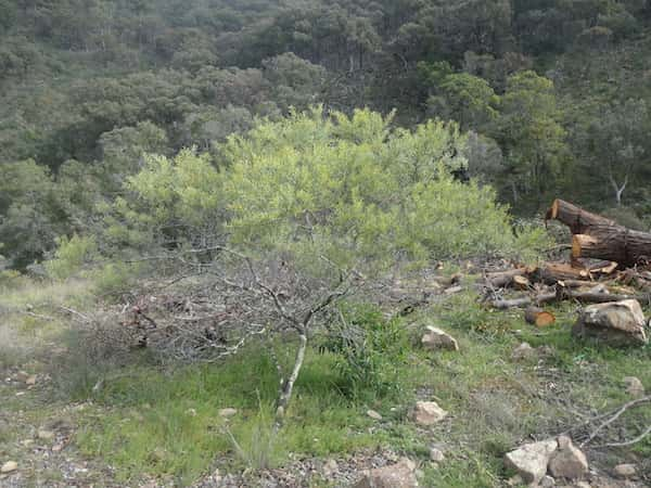 Acacia amoena photo
